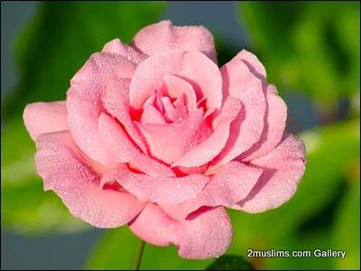 quran_gallery_flowers7